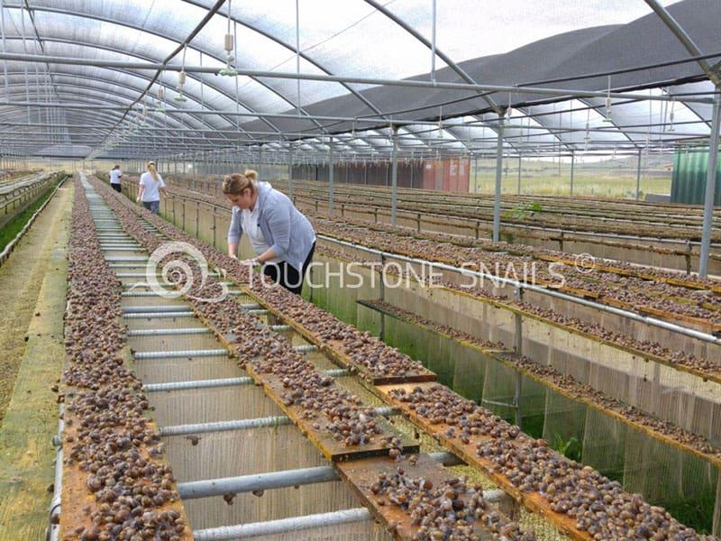 touchstone snail farming